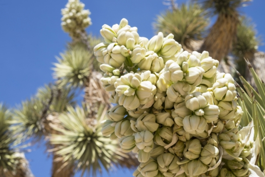 Photo of Joshua tree spring blooms, by Beth Nault-Warner