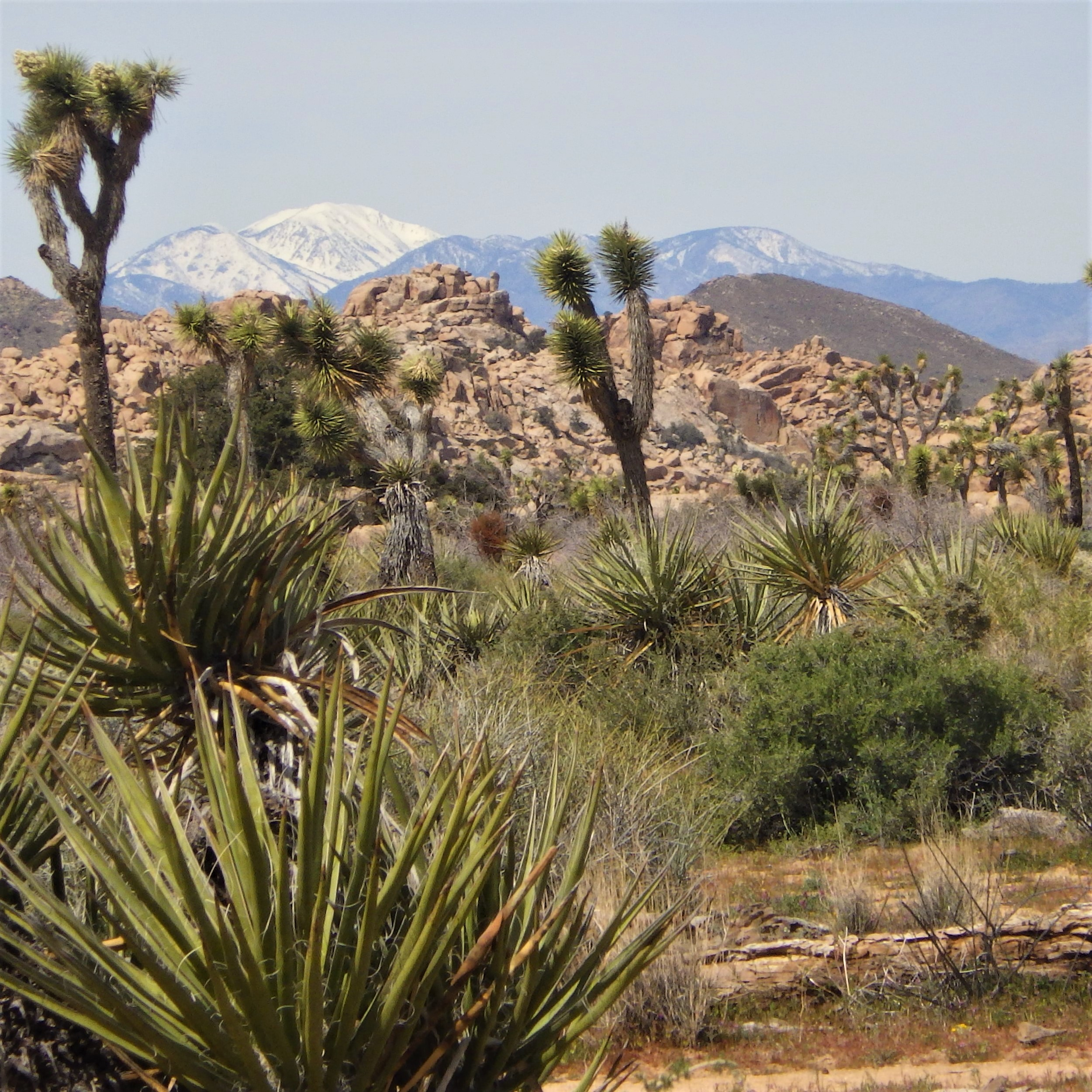 Photo Joshua Tree National Park with Joshua trees and Mount San Gorgonio, photo by Beth Nault-Warner
